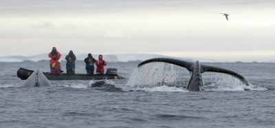 Hunting Humpback Whales the friendly way