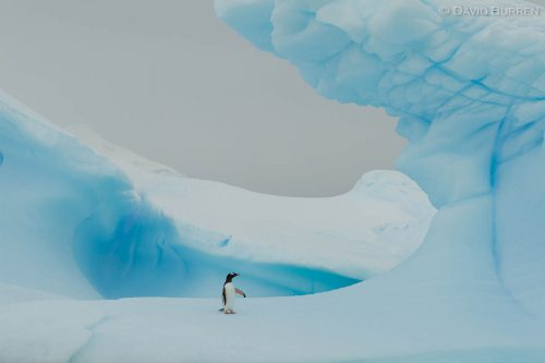 Lonely Gentoo Penguin
