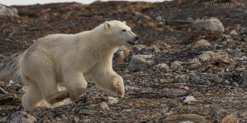 Svalbard bear pup running after Mum
