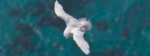 Tropicbird from above