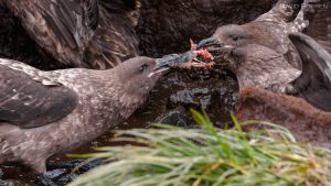 A penguin chick being ripped apart by skuas