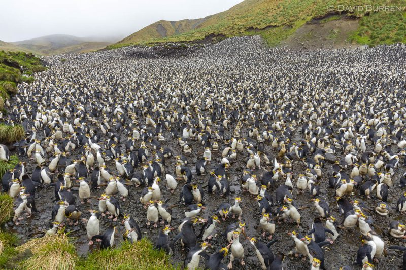 Royal Penguin colony