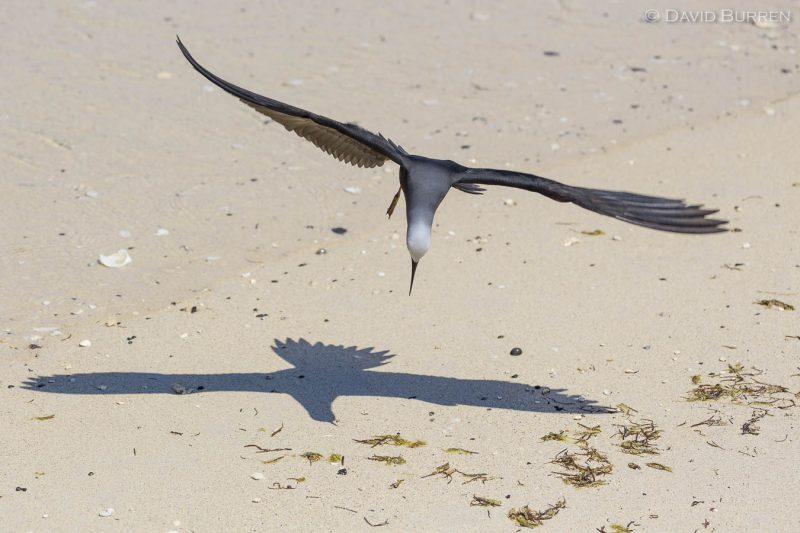 A Brown Noddy about to touch down on a Lord Howe Island beach