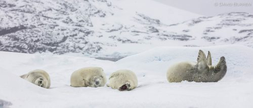 Near Petermann Island, these seals were just taking it easy.