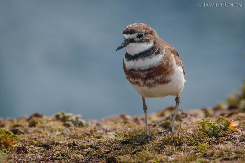 Auckland Island Banded Dotterel