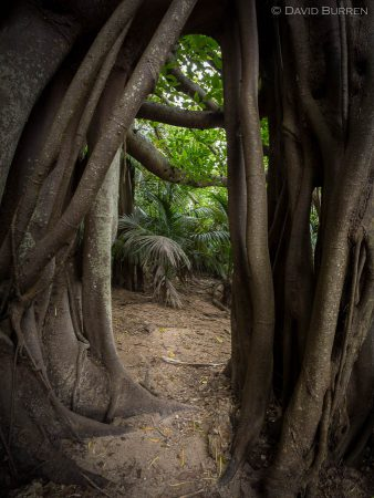 Looking through the roots of a huge Banyan fig