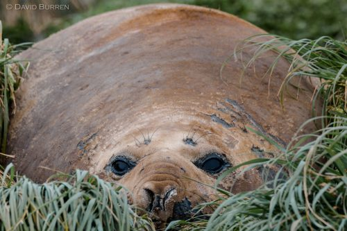 Elephant Seal in bed